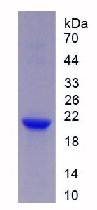 Recombinant Triggering Receptor Expressed On Myeloid Cells 2 (TREM2)
