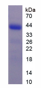 Recombinant G Protein Coupled Receptor 35 (GPR35)