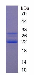 Recombinant Cold Inducible RNA Binding Protein (CIRBP)