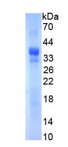 Recombinant Follistatin Like Protein 1 (FSTL1)