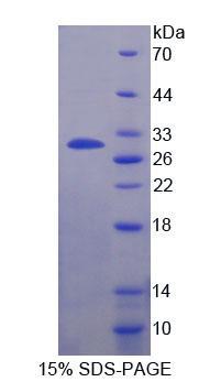 Recombinant Casein Alpha (CSN1)