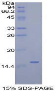 Recombinant Golgi Glycoprotein 1 (GLG1)
