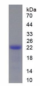 Recombinant Phosphoinositide-3-Kinase Catalytic Alpha Polypeptide (PIK3Ca)