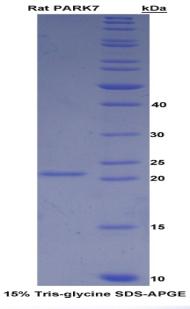 Recombinant Parkinson Disease Protein 7 (PARK7)