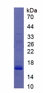 Recombinant CASP2 And RIPK1 Domain Containing Adaptor With Death Domain Protein (CRADD)