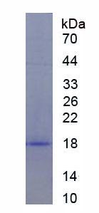 Recombinant Eukaryotic Translation Initiation Factor 4E Binding Protein 1 (EIF4EBP1)