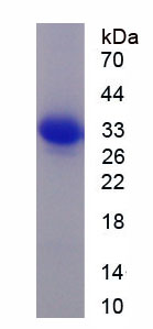 Recombinant Mitogen Activated Protein Kinase Kinase Kinase 7 Interacting Protein 1 (MAP3K7IP1)