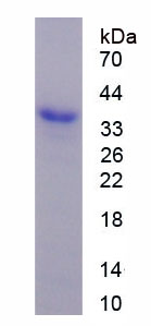 Recombinant Wingless Type MMTV Integration Site Family, Member 3 (WNT3)