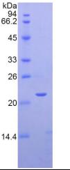 Recombinant Semaphorin 3F (SEMA3F)