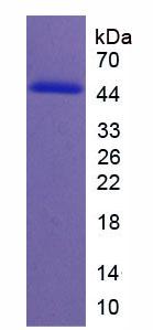 Recombinant Neogenin 1 (NEO1)