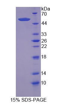 Recombinant Nuclear Factor, Erythroid Derived 2 Like Protein 2 (NFE2L2)