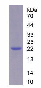 Recombinant Glycosylphosphatidylinositol Anchored High Density Lipoprotein Binding Protein 1 (GPIHBP1)