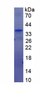 Recombinant Zinc Finger, AN1-Type Domain Protein 6 (ZFAND6)