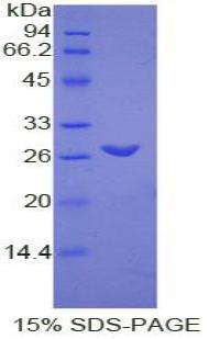Recombinant Transmembrane Protein 173 (TMEM173)