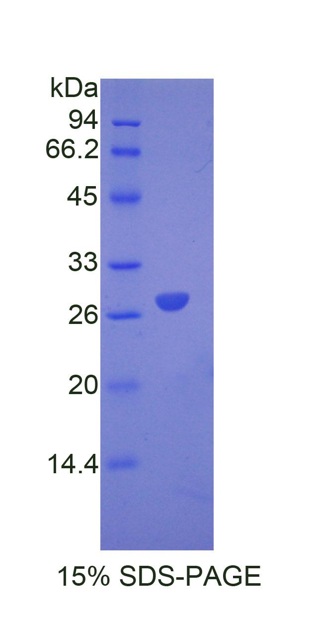 Recombinant Angiopoietin Like Protein 6 (ANGPTL6)