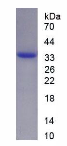Recombinant Fibronectin Type III Domain Containing Protein 5 (FNDC5)