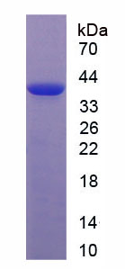 Recombinant Wingless Type MMTV Integration Site Family, Member 3A (WNT3A)