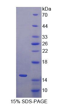 Recombinant S100 Calcium Binding Protein A15 (S100A15)