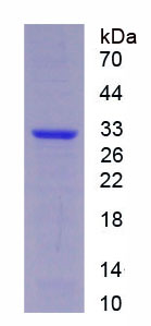 Recombinant Protease, Serine 33 (PRSS33)