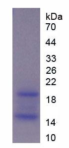 Recombinant Ribonuclease A12 (RNASE12)