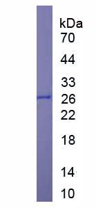 Recombinant Glutathione S Transferase (GST)
