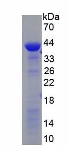 Recombinant Long Flagella 2 (LF2)