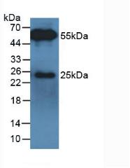 None-Linked Rabbit Anti-Bovine IgG Polyclonal Antibody