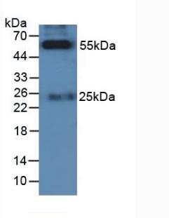 HRP-Linked Rabbit Anti-Feline IgG Polyclonal Antibody