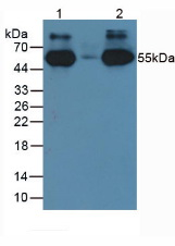 HRP-Linked Rabbit Anti-Human IgG Polyclonal Antibody