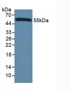 HRP-Linked Caprine Anti-Mouse IgG Polyclonal Antibody