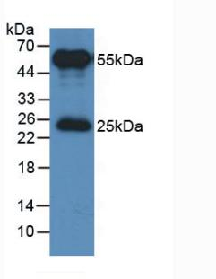 HRP-Linked Rabbit Anti-Ovine IgG Polyclonal Antibody