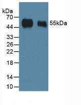 HRP-Linked Rabbit Anti-Porcine IgG Polyclonal Antibody