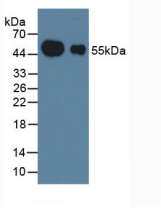 HRP-Linked Guinea pig Anti-Rabbit IgG Polyclonal Antibody