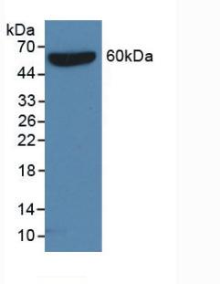 Anti-S15 Oligopeptide (S) Tag Monoclonal Antibody