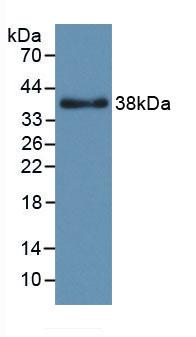 Active Fibroblast Growth Factor 6 (FGF6)