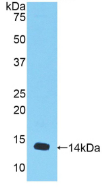Active Myostatin (MSTN)