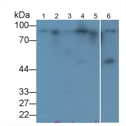 Anti-Calnexin (CNX) Monoclonal Antibody