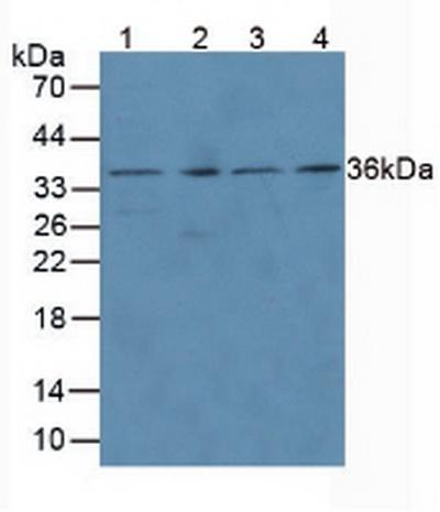 Anti-Proliferating Cell Nuclear Antigen (PCNA) Polyclonal Antibody