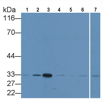 Anti-Proliferating Cell Nuclear Antigen (PCNA) Monoclonal Antibody