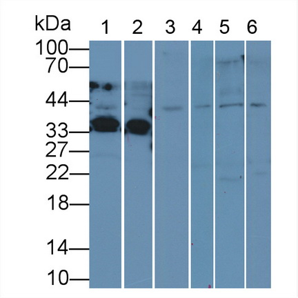 Anti-Extracellular Signal Regulated Kinase 2 (ERK2) Polyclonal Antibody
