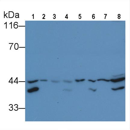 Anti-Extracellular Signal Regulated Kinase 2 (ERK2) Monoclonal Antibody