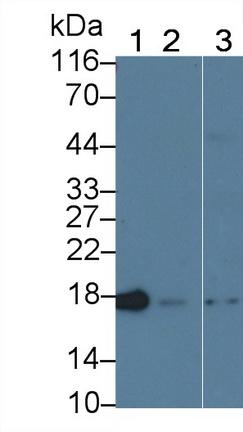Anti-Cyclophilin A (CYPA) Monoclonal Antibody