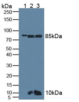Anti-Catenin Beta 1 (CTNNb1) Polyclonal Antibody