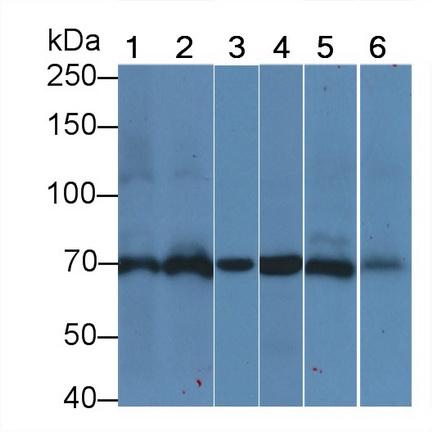 Anti-Heat Shock 70kDa Protein 1A (HSPA1A) Monoclonal Antibody