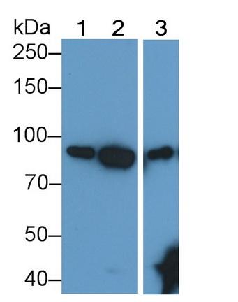 Anti-Transferrin Receptor (TFR) Monoclonal Antibody