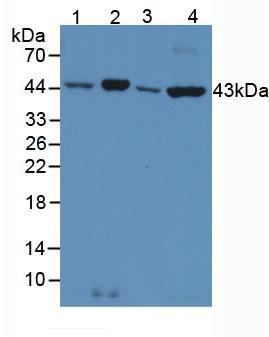 Anti-Beta Actin (ACTB) Polyclonal Antibody