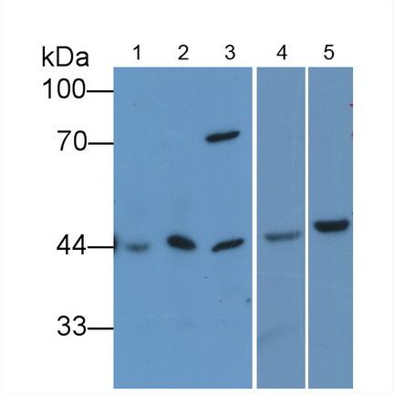 Anti-Beta Actin (ACTB) Monoclonal Antibody