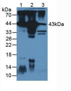 Anti-Actin Alpha 1, Cardiac Muscle (ACTC1) Polyclonal Antibody