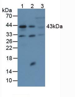 Anti-Actin Alpha 2, Smooth Muscle (ACTa2) Polyclonal Antibody