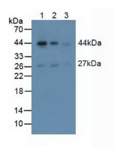 Anti-Actin Alpha 2, Smooth Muscle (ACTa2) Polyclonal Antibody
